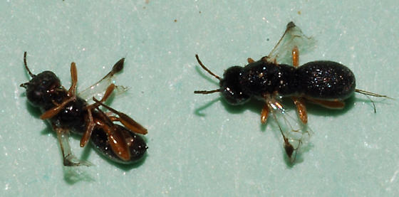 bean weevil parasites - Urosigalphus - male - female