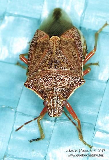 Pentatomomorpha - Podisus brevispinus