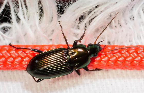 Glossy black beetle - Poecilus chalcites - male