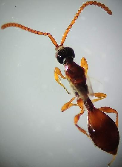 Wasp 05 - Diapriidae - Boreal Forest - Belyta