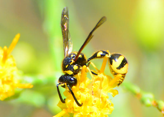 Wasp for ID - Eumenes verticalis - male