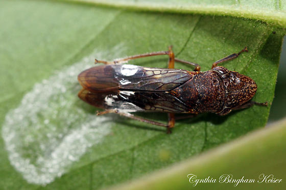 Which species of Homalodisca is this? - Homalodisca vitripennis