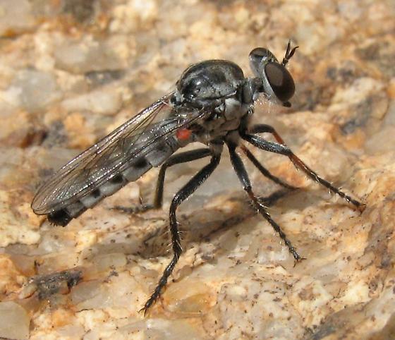 Asilid - Cophura arizonensis