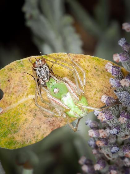 Crab Spider - Peucetia