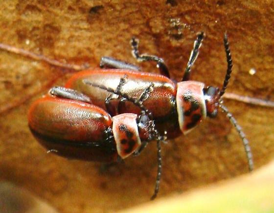 Mating Flea Beetles - Kuschelina cf-fimbriata - male - female