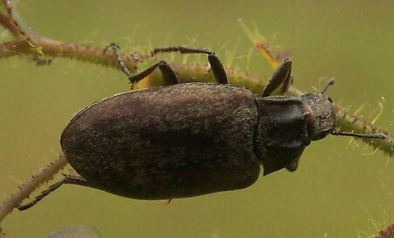 Beetle with ridged pronotum - Bothrotes canaliculatus
