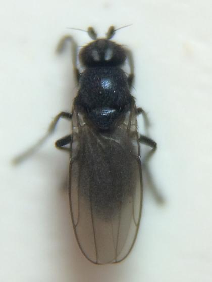 Fly - Opacifrons maculifrons