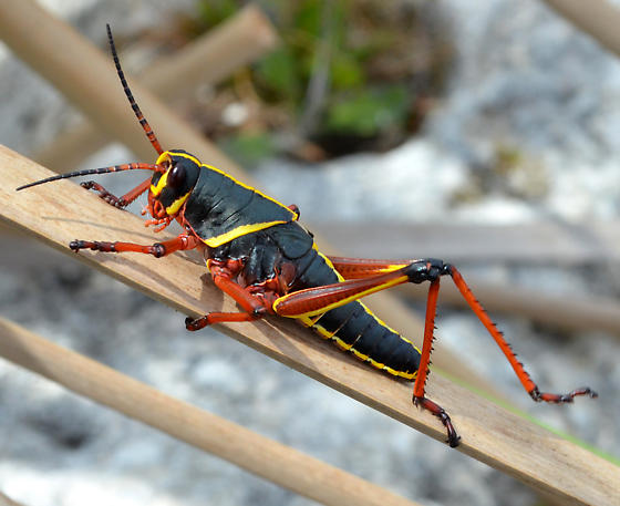 Romalea microptera? - Romalea microptera