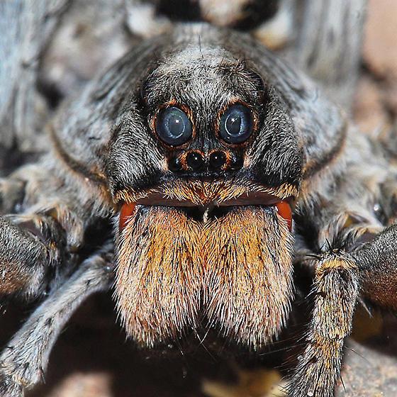 Wolf Spider - face - Hogna carolinensis