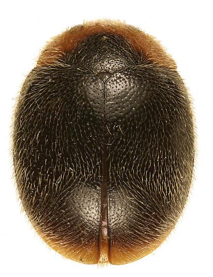 Scymnus apicanus