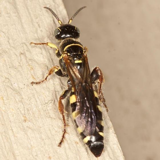 Thynnid Wasp - Myzinum carolinianum - female