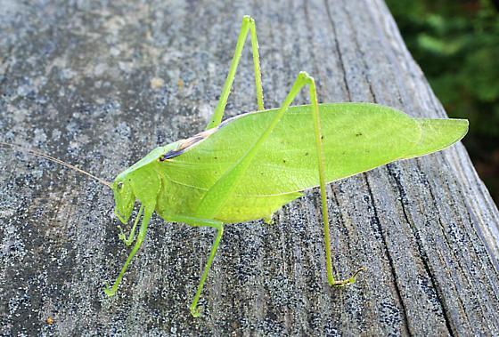 katydid Greater Angle-wing Microcentrum rhombifolium ??? - Amblycorypha oblongifolia - male