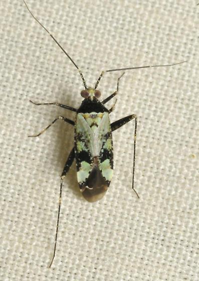 Green and black bug - Phytocoris