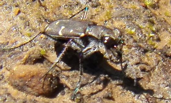 Common Tiger beetle - Cicindela duodecimguttata