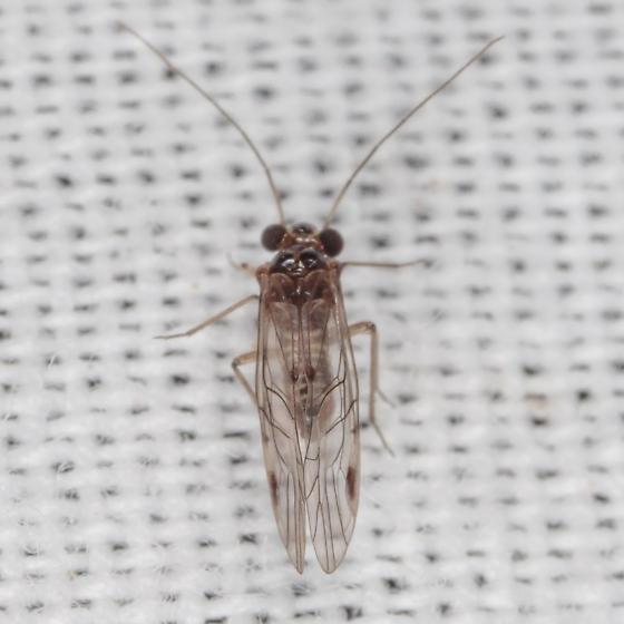 Psocodea sp. - Indiopsocus bisignatus - male