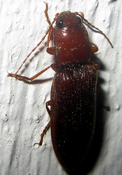 Click Beetle - Hemicrepidius bilobatus
