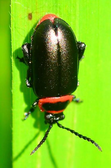 black and red flea beetle - Kuschelina vians