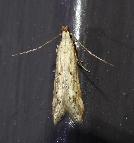 Metzneria lappella - Burdock Seedhead Moth - Hodges#1685 - Metzneria lappella