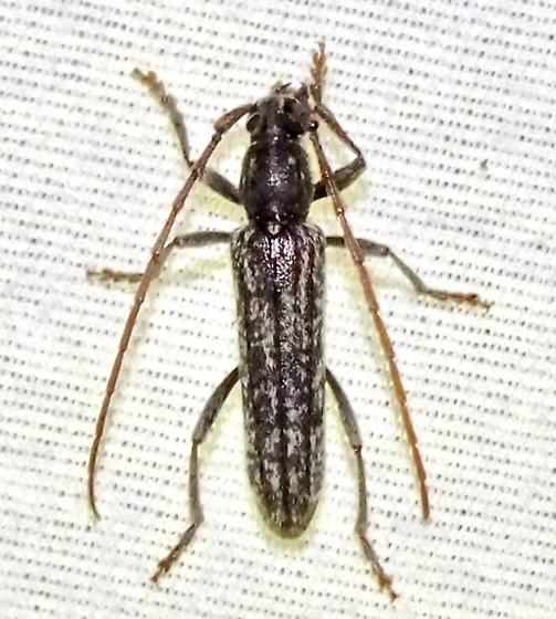 Longhorn Beetle - Anelaphus formerly-parallelus-maybe-undescribed