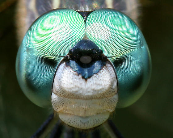 Blue Dasher - very close-up macro - Pachydiplax longipennis - male