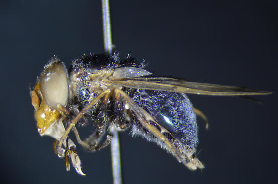 Copestylum species - Copestylum barei