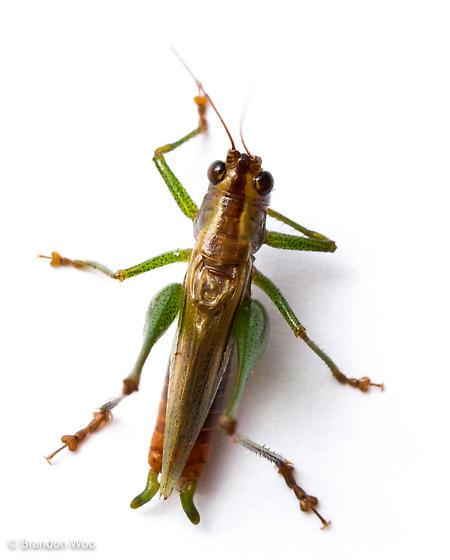 Conocephalus attenuatus - male