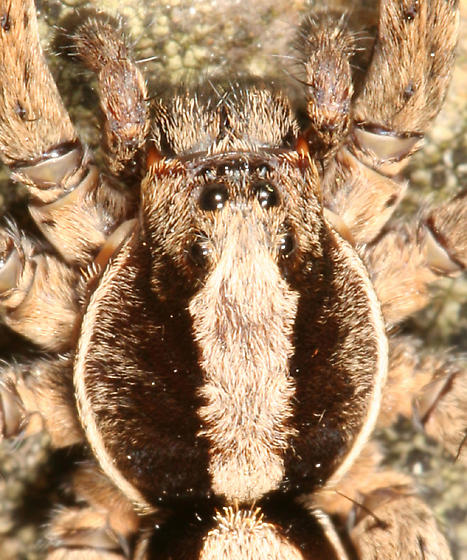 wolf spider - Hogna frondicola - male