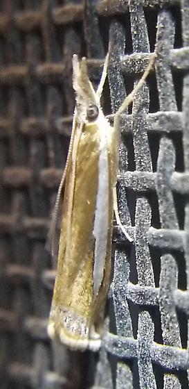 Extremely shiny gold moth - Crambus