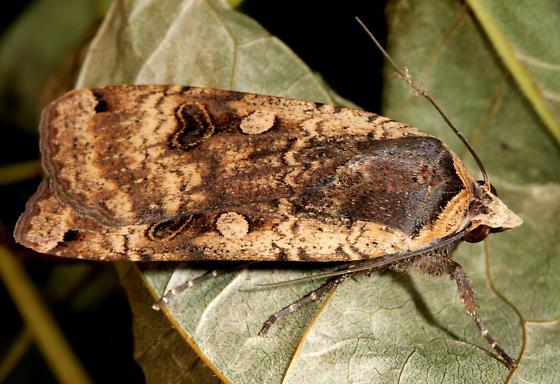 Moth ID? - Noctua pronuba