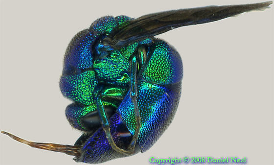 Pacific or Large Blue Cuckoo Wasp (Chrysis pacifica or Chrysis coerulans) - Chrysis - female