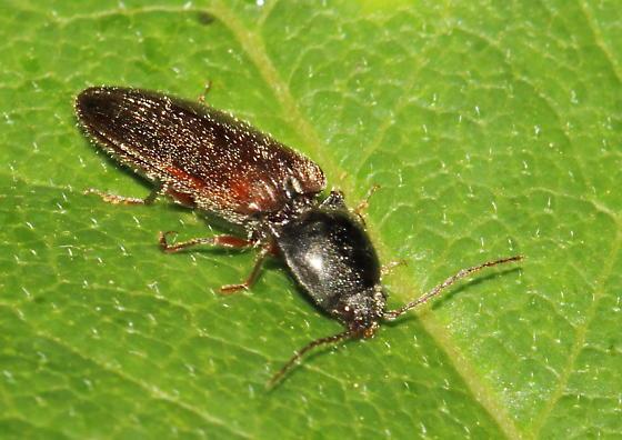 click beetle 2 - Hemicrepidius hemipodus