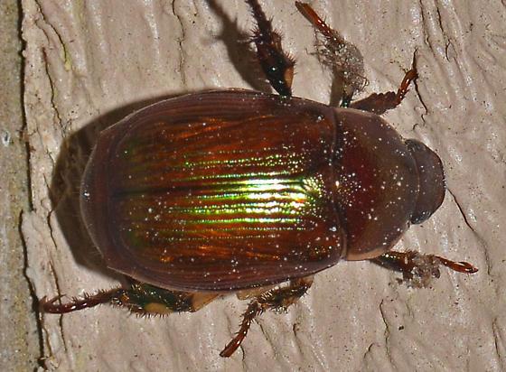 ? - Callistethus marginatus