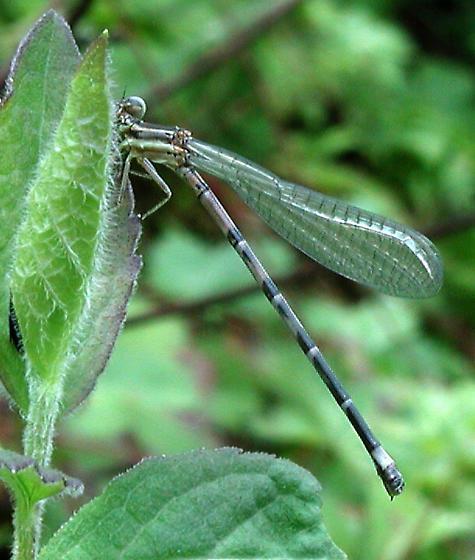 Seepage Dancer, NJ July - Argia bipunctulata - female