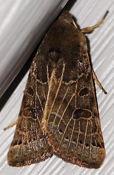 moth help needed - Omphaloscelis lunosa