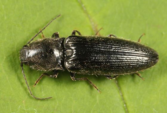 Click Beetle - Hemicrepidius hemipodus - male