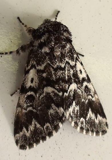 Noctuidae: Panthea acronyctoides? - Panthea acronyctoides