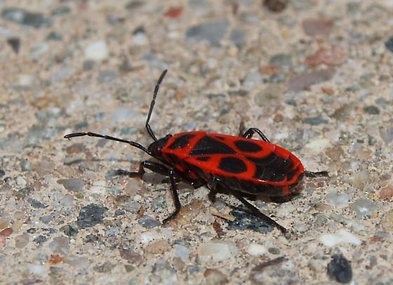 Red & Black Awesome lookin' beetle? - Pyrrhocoris apterus