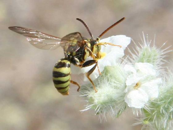 Cuckoo bee? nectaring on cryptantha - Nomada