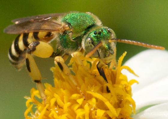 Wasp? - Agapostemon splendens