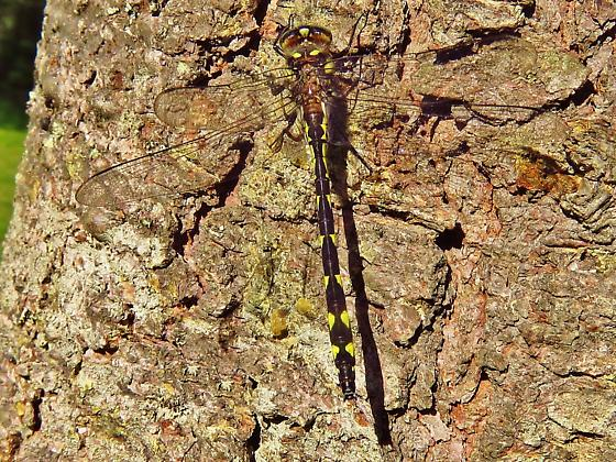 Id help needed - Delta-spotted Spiketail (Cordulegaster diastatops) ? - Cordulegaster diastatops