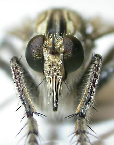 Robber fly - Triorla interrupta - male