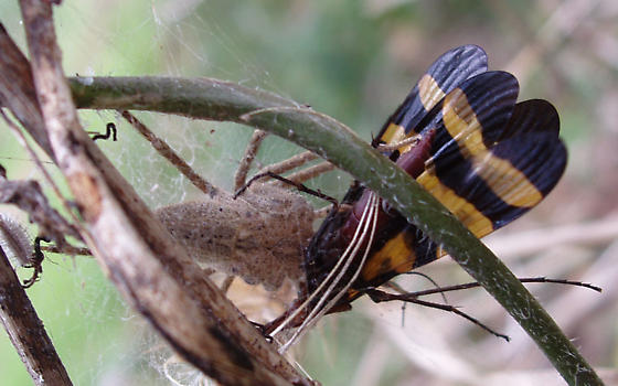 Please confirm these identifications as Pisaurina mira (Nursery Web Spider) feasting on a Panorpa nuptialis (scorpionfly) female - Pisaurina mira