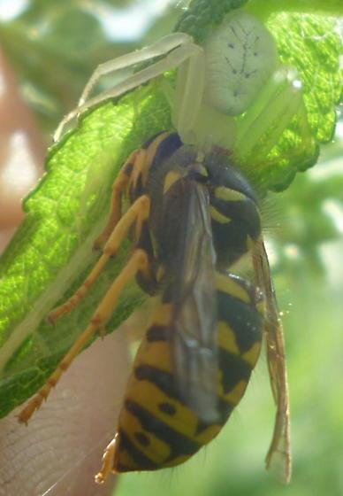 V. germanica - Dolichovespula arenaria
