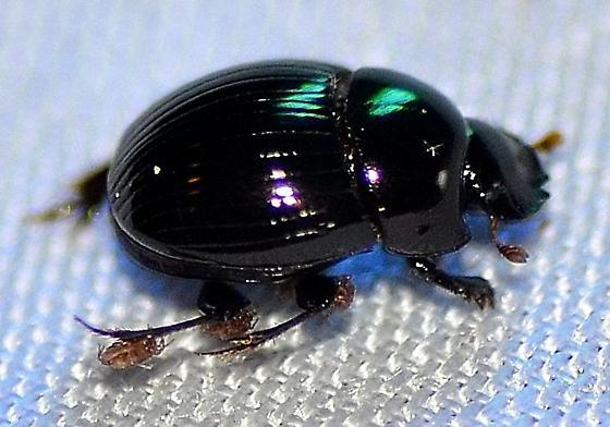 Scarabaeidae - Ateuchus histeroides