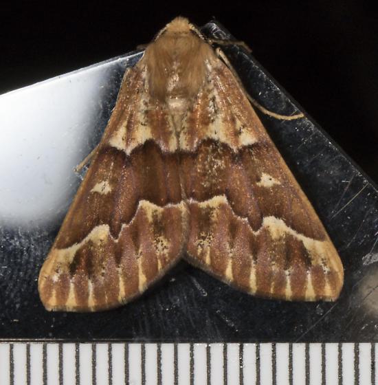 Backyard moth - Caripeta aequaliaria - male