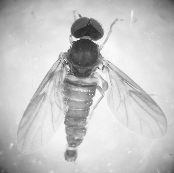 Hilarimorphidae  - Hilarimorpha - male