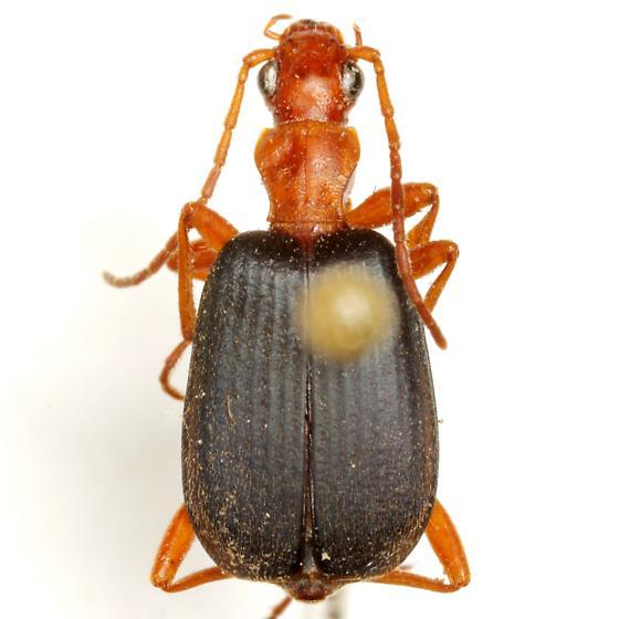Brachinus texanus Chaudoir - Brachinus texanus