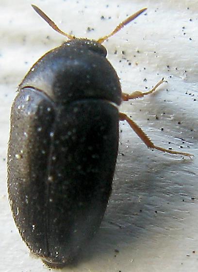 Black Carpet Beetle - Attagenus brunneus - male