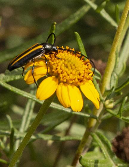 a beetle - Lophalia cyanicollis