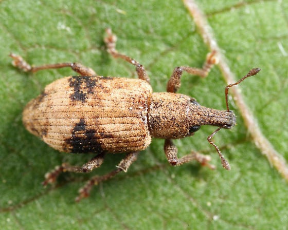 weevil - Listronotus delumbis